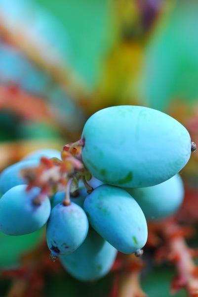 Mahonia fruit